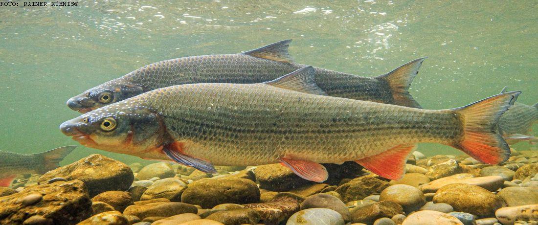 Fisch des Jahres 2020 - Die Nase