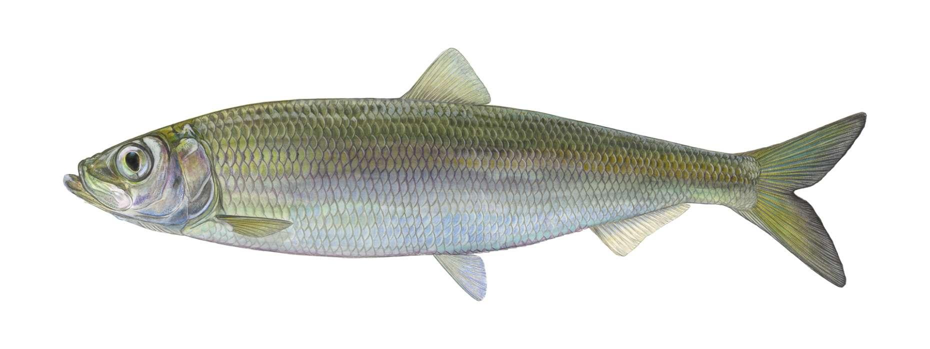 Fisch des Jahres 2021 Der Hering